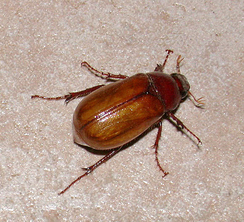 It S July So Why Is My Yard Crawling With June Bugs